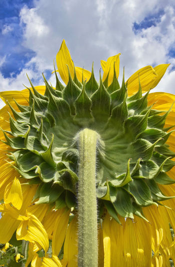 Back of sunflower just South of Dallas, Texas Beauty In Nature Close-up Cloud - Sky Day Flower Flower Head Flowering Plant Fragility Freshness Growth Leaf Nature No People Outdoors Plant Plant Part Sky Sunflower Vulnerability  Yellow
