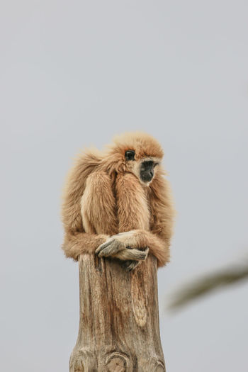 Low angle view of monkey sitting on wooden post against sky