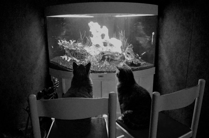 Aquaristik Aquarium Domestic Animals Cat Animal Themes Pets Cats Fish And Cat Fish Hungry Curious Excited Funny FUNNY ANIMALS Funny Moments Fun Picture Lovely Hungry Pets Hungry No People Lovley  Aquarium Life Aquarium Photography Cats Cat Lovers Domestic Cat