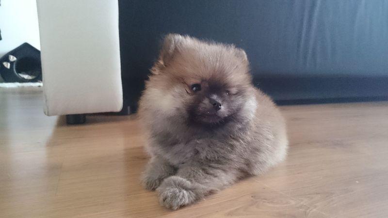 Pomeranian Puppy Small Dog Dog Rico Spitz Spitzdog