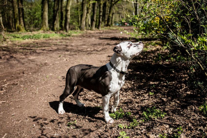 Frühlingserwachen Hundeliebe Sonnenschein  Waldspaziergang Waldwege Eyemphotography Hundefotografie Hundewelpe Stafordlove Stafordshire Bull Terrier