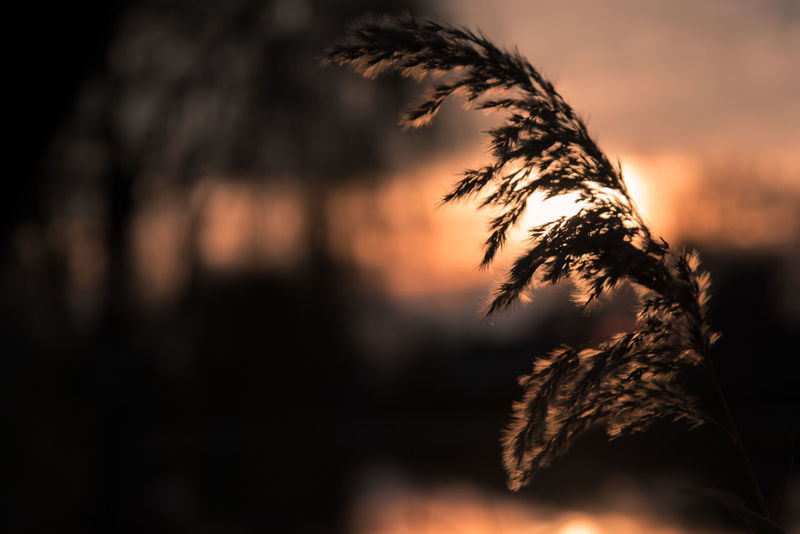 Romantic Silhouette Beauty In Nature Close-up Day Evening Flower Focus On Foreground Growth Nature No People Nostalgia Nostalgic  Outdoors Plant Reed Reed - Grass Family Sky Sunset Sweet Tranquility Tree