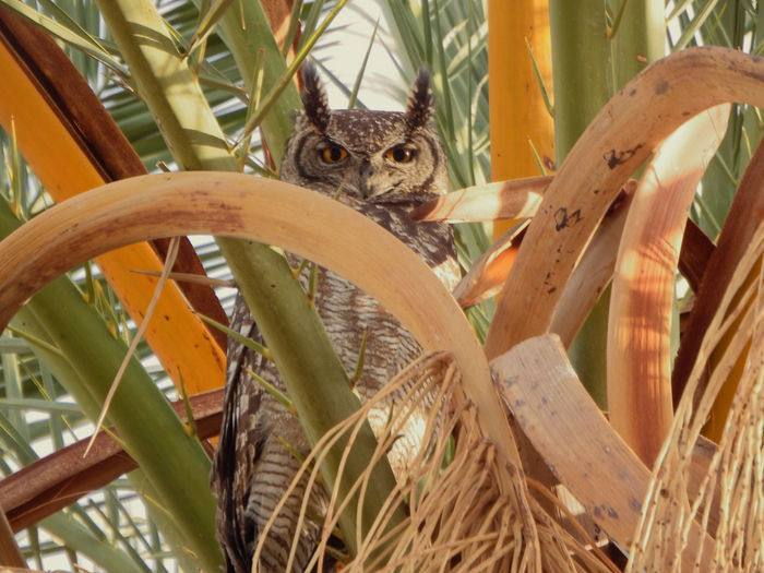 heres looking at you kid Eagle Owl  Animal Animal Body Part Animal Head  Animal Themes Animal Wildlife Animals In The Wild Close-up Day Leaf Mammal Nature No People One Animal Outdoors Palm Leaf Pets Plant Plant Part Rodent Tree Vertebrate Wood - Material