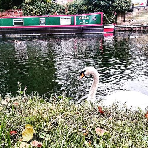Swan and a Barge on the River Lee.. Swan Barge Riverlee Boat Ware Hertfordshire Canal Water Picturesque Picoftheday ican Snapshot Capture Sonyxperia XperiaZ3