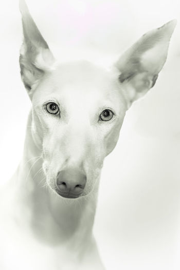 Ibizan Hound Animal Body Part Animal Eye Canine Close-up Dog Domestic Domestic Animals Indoors  Looking At Camera Mammal No People One Animal Pets Podenco Ibicenco Portrait Vertebrate White Background White Color