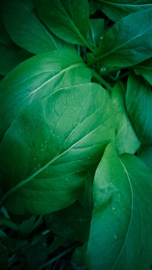 vegetables Leaf