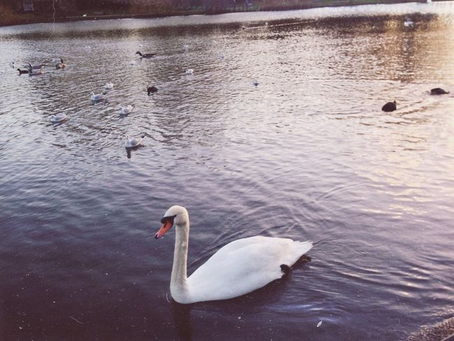 Bird Animal Themes Animals In The Wild Water Swimming Nature Swan Lake Animal Wildlife No People Outdoors Day Water Bird Beauty In Nature london