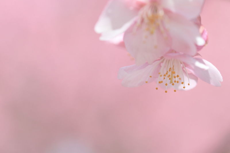 Close-Up Of Flowers Blooming On Cherry Tree