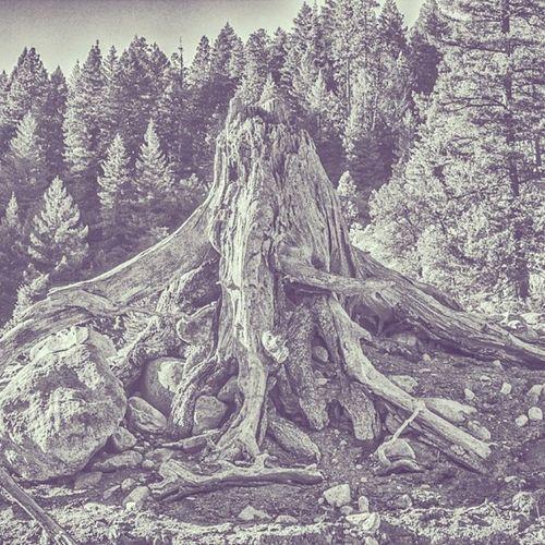Tree Stump Nature Siskiuou lake
