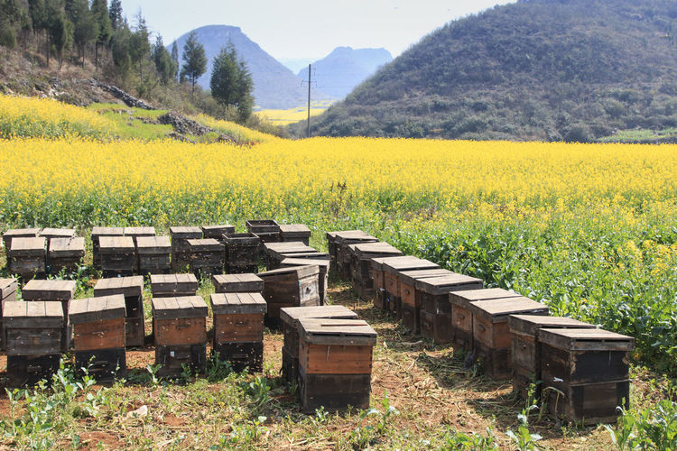 Bee boxes against rapeseed field