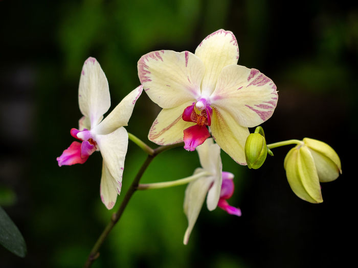 Flowering Plant Flower Fragility Plant Vulnerability  Beauty In Nature Freshness Close-up Growth Flower Head Orchid Nature Outdoors Yellow Purple Pink Color Phalaenopsis Moth Orchid Natural Background Dark Background Botanical Garden Botany In Bloom Blossom Blooming