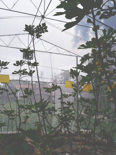 One day, I will have my own greenhouse too. Fig greenhouse Fig Pokoktin Pokok Tin Buah Ara Pokok Ara