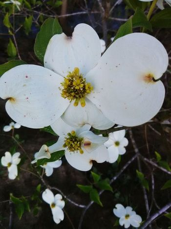 Nature Growth Outdoors Close-up Plant Beauty In Nature No People Leaf Flower Head Flower Fragility Day Freshness Dogwood Blossom