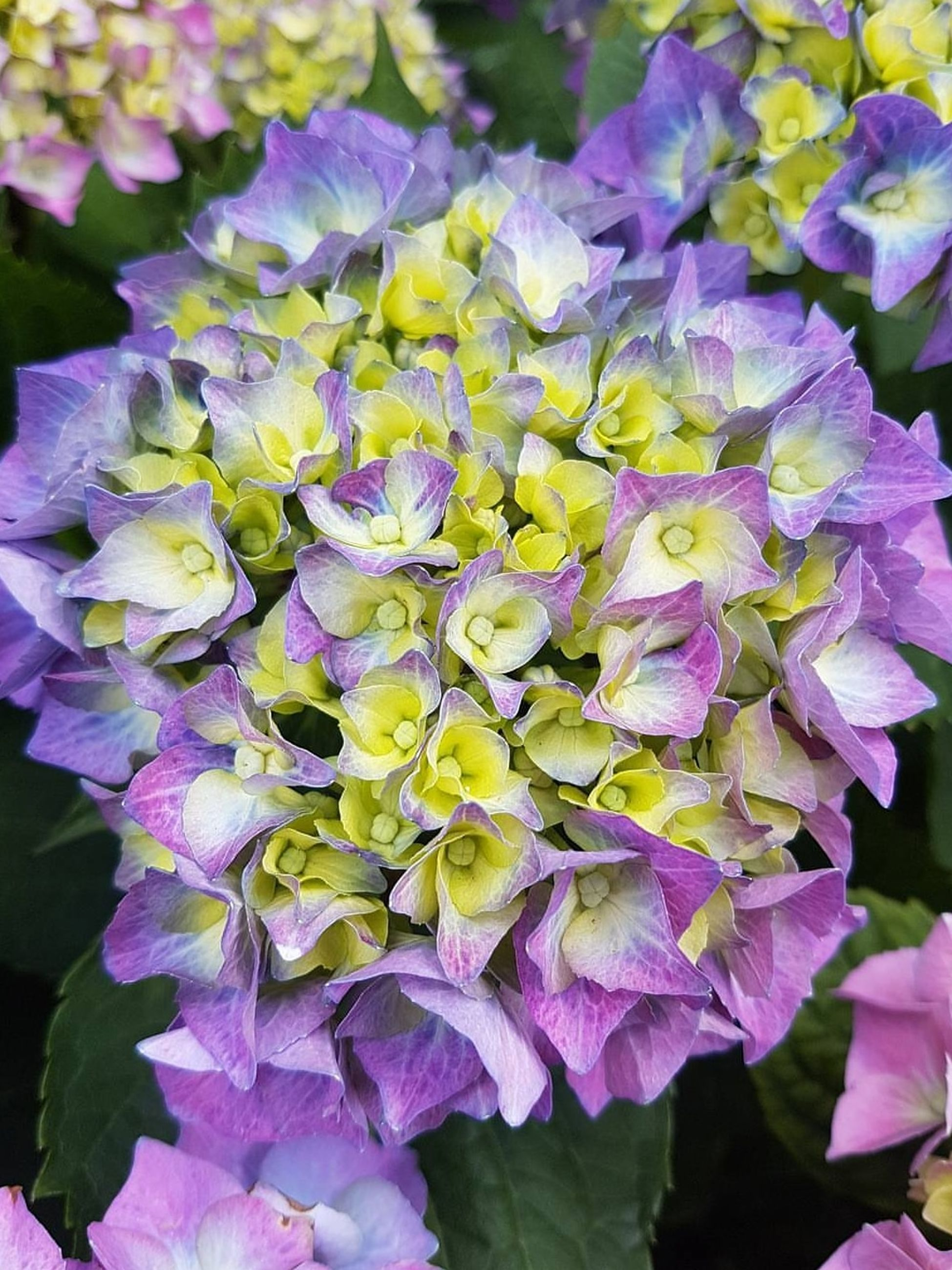 flowering plant, flower, plant, beauty in nature, fragility, vulnerability, freshness, growth, petal, inflorescence, close-up, flower head, purple, nature, day, focus on foreground, outdoors, no people, hydrangea, botany, bunch of flowers, lilac