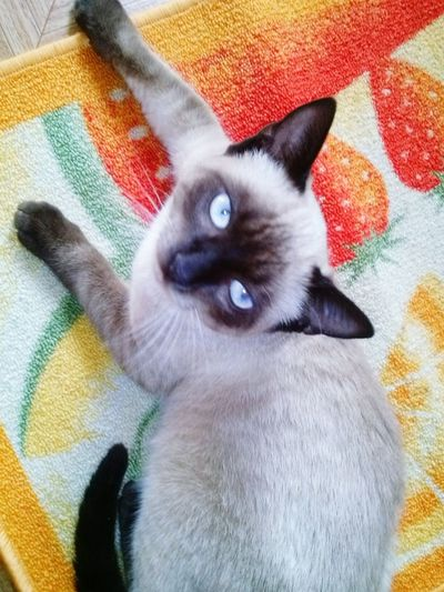 One Animal Animal Themes Pets Domestic Cat Home Interior Siamese Cat
