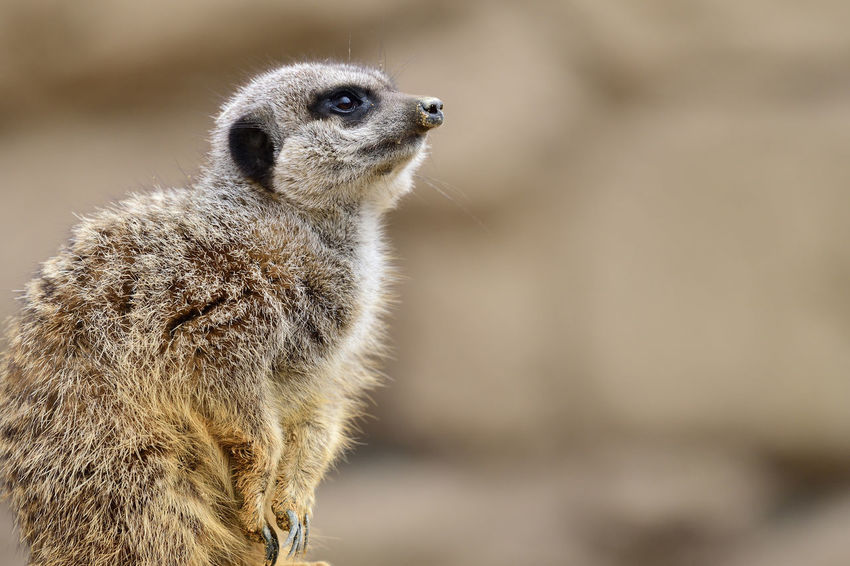 Animals In The Wild Check This Out EyeEm Best Shots EyeEm Nature Lover Meerkat Nature Nature Photography Sitting Animal Animal Themes Animal Wildlife Beauty In Nature Close-up Cute Day Focus On Foreground Mammal Mammals Nature_collection No People One Animal Outdoors Portrait Selective Focus Suricate