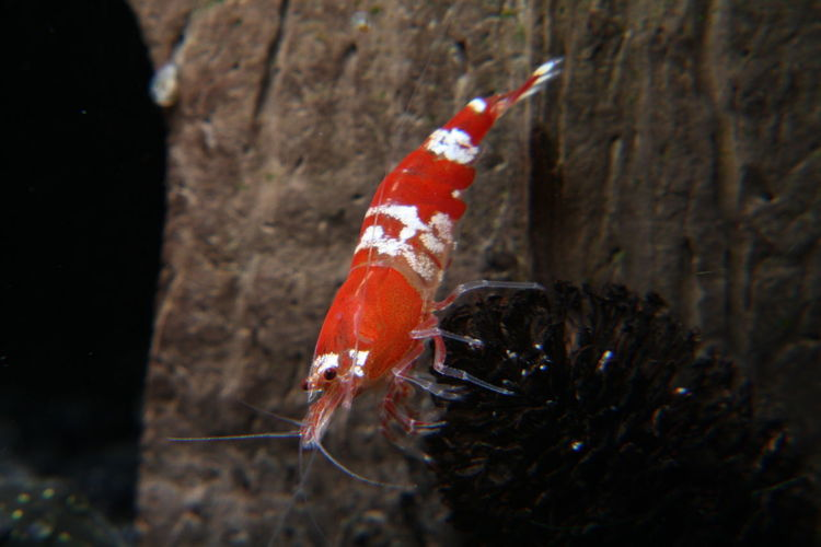 Crystal Red Shrimp Crystal Red Animal Themes Animal One Animal Animal Wildlife Fish Animals In The Wild Water Underwater Vertebrate Sea Life Marine Nature Sea No People Swimming Day Outdoors Animal Body Part Red Close-up UnderSea