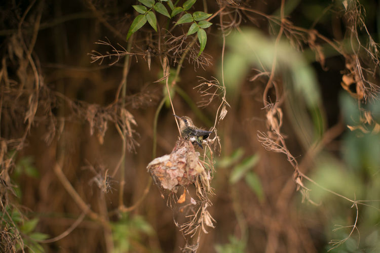 Nesting Animal Wildlife Animals In The Wild Baby Hummingbird Beauty In Nature Close-up Hummingbird Learning To Fly