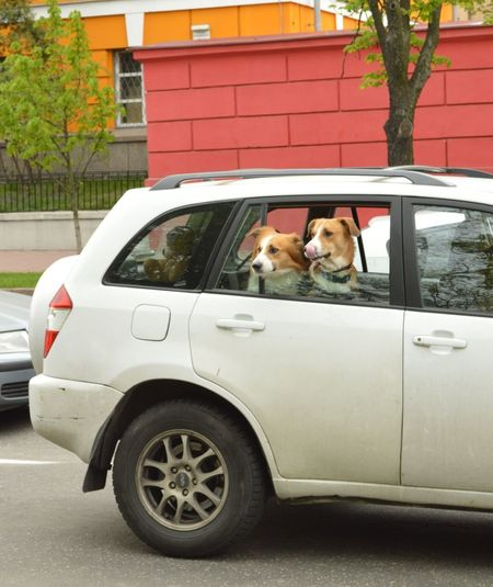 Passengers Dogs Kyiv Dogs In Cars