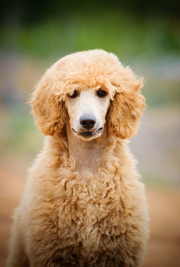 Dog Canine Pets Portrait No People Domestic Animals Day Poodle Standard Poodle Dogs Outdoors Animal Themes Animal Standard One Animal Close-up Brown Looking At Camera Apricot Vertical