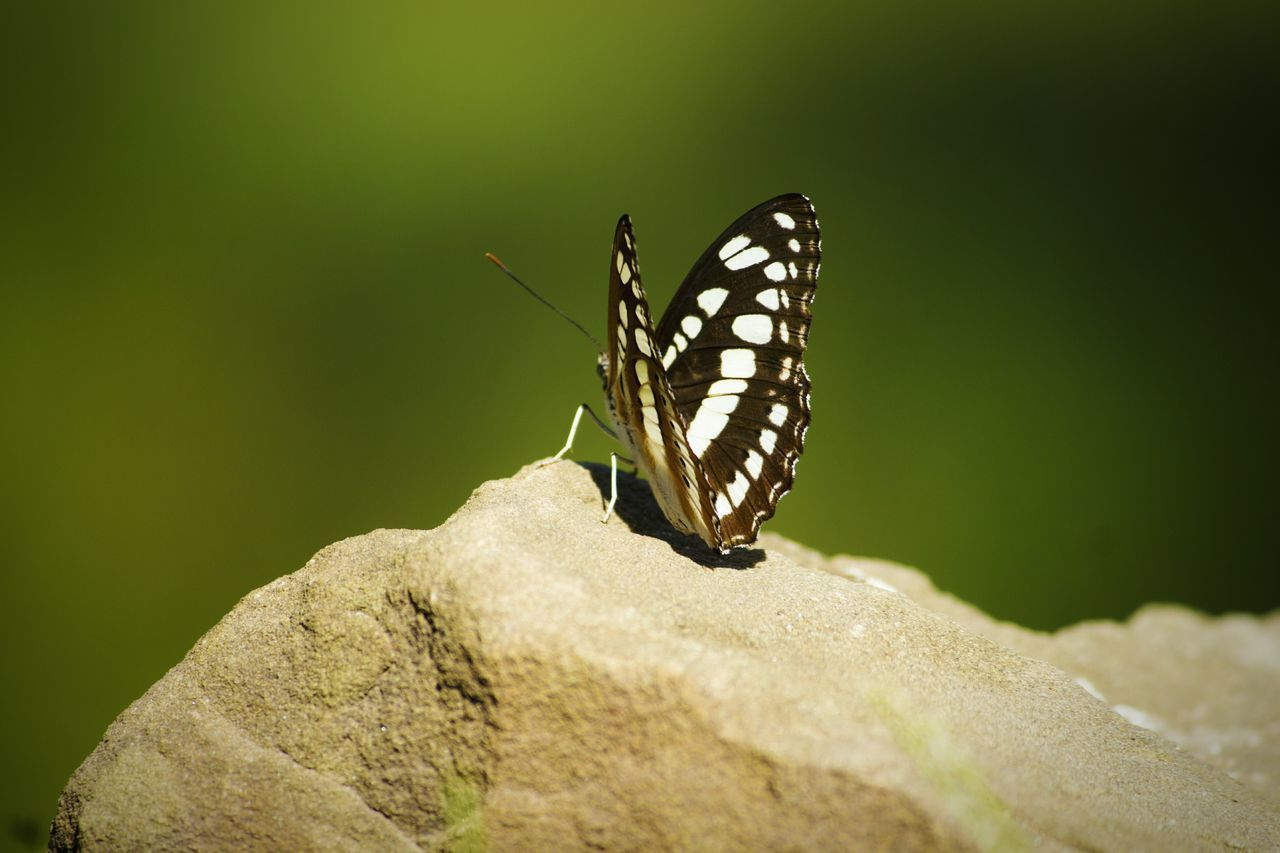 insect, animals in the wild, animal themes, one animal, butterfly - insect, nature, no people, animal wildlife, outdoors, close-up, day, perching, beauty in nature, freshness
