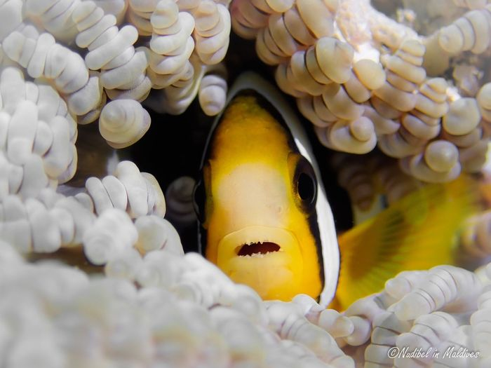 Clownfish Anemone Ocean Coral underwater photography Underwater World Scuba Diving Diving Marine Life Nature Photography Bubble Coral Wild Animal Wildlife Islandlife Animal Themes Animal Underwater Sea Sea Life Water Clown Fish Animals In The Wild Marine Animal Wildlife Fish UnderSea Close-up Beauty In Nature Nature The Great Outdoors - 2018 EyeEm Awards