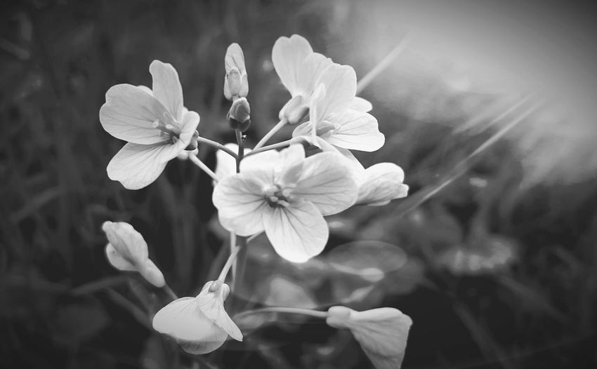 Flower Petal Nature Beauty In Nature Fragility Growth Flower Head Blossom Plant Close-up Freshness Focus On Foreground Outdoors Day No People Photojinicphotography Black And White Photography Beauty In Nature Meadowflowers