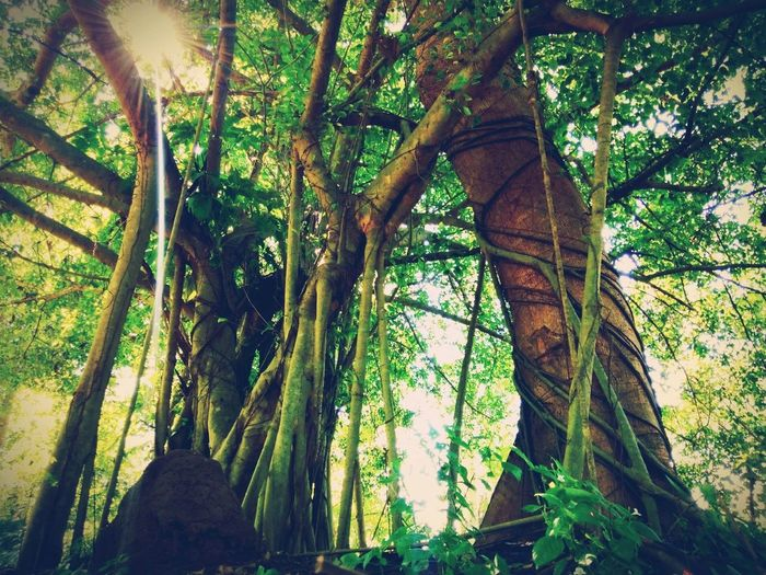 Nature Nature Photography Nature_collection Naturelovers Naturesbeauty Escortlife Attach Ficus Benjamina Ficus Ficus Tree Root Roots Root Of The Tree Air Roots Tree Forest Hanging Tree Trunk Sky