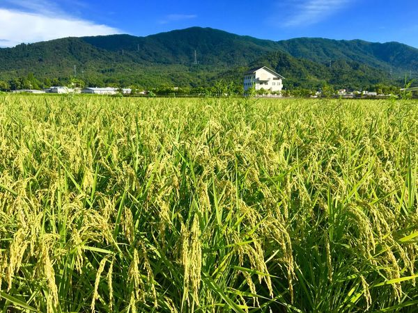 Subject : Conutless Ears of Rice All Out in the Paddy Field. This is the end of the photos taken in Kurose. Have you found them interesting? Agriculture Mountain Farm Crop  Field Landscape Tranquility Rural Scene Tranquil Scene Scenics Nature Beauty In Nature Growth Cultivated Land Mountain Range Outdoors No People Day Sky Cereal Plant . Taken at Kurose in Higashi-Hiroshima , Japan on Aug. 13, 2017 ( Submitted on Aug. 23, 2017 )