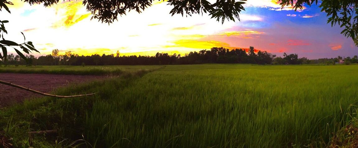 """Beautiful natural rice fields : Photos by : p diesel from Thailand. """"ทุ่งนาข้าว ธรรมชาติ ที่งดงาม"""". Photography Tree Grass Field Sunset Nature Beauty In Nature Rural Scene Tranquil Scene Landscape Tranquility Scenics Outdoors Green Color Sunlight Growth Idyllic Agriculture No People Sky Day"""