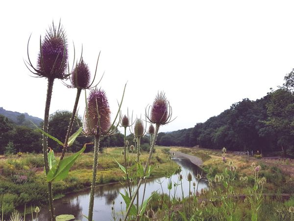 Water Reflection Lake Nature Sky Outdoors Growth Day Beauty In Nature No People Plant Grass Tree Landscape Scenics Nature Reserve Copley Sowerby Bridge Yorkshire Plants And Flowers Landscapes Flowers Plants Teasel Teasel Thistle Sommergefühle Breathing Space