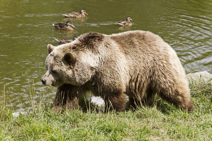 Brown Bear in Poing Animal Animal Themes Bear Brown Bear Day Field Grass Grassy Green Color Lake Mammal Nature No People Outdoors Poing Relaxation Water Wild Animal Wildpark