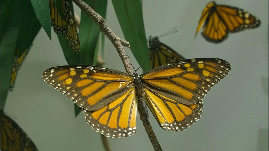 Butterfly Monarch Butterfly Monarch Museum Design