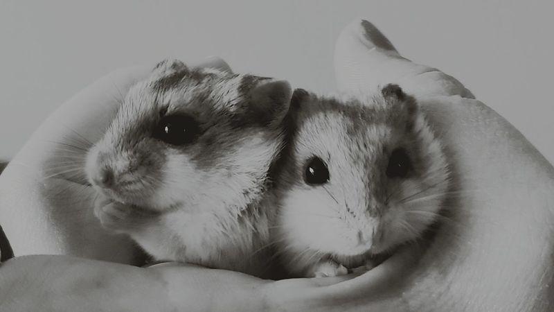 Dwarf HamsterHamster Blackandwhitephotography Sisters Pets Corner Pet Photography
