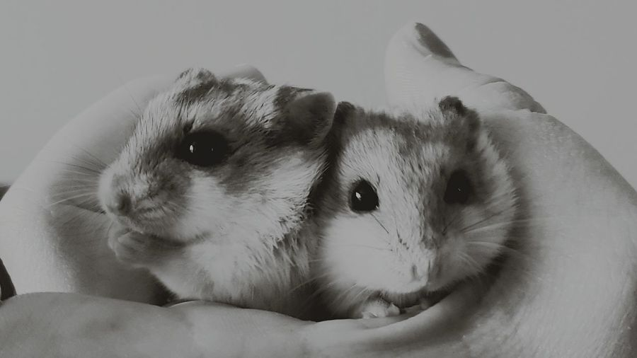 Dwarf HamsterHamster Blackandwhitephotography Sisters Pets Corner Pet Photography