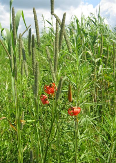 Wild flower Growth Nature Red Green Color Plant Beauty In Nature No People Grass Freshness Day Sky Close-up Lilium Lilium Martagon лилия Pratense Field Meadow Flowers Meadow Far East