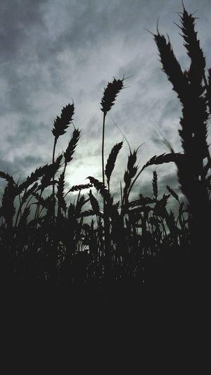 Field Cloud Growing
