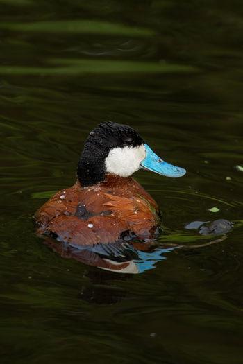 Ruddy duck on a
