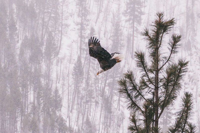 Eagle takes flight during snowstorm