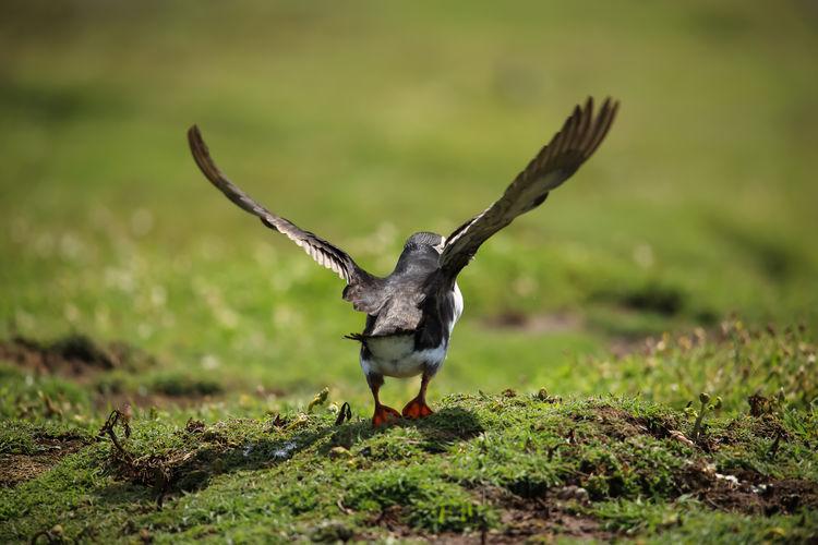 Bird flying over a field