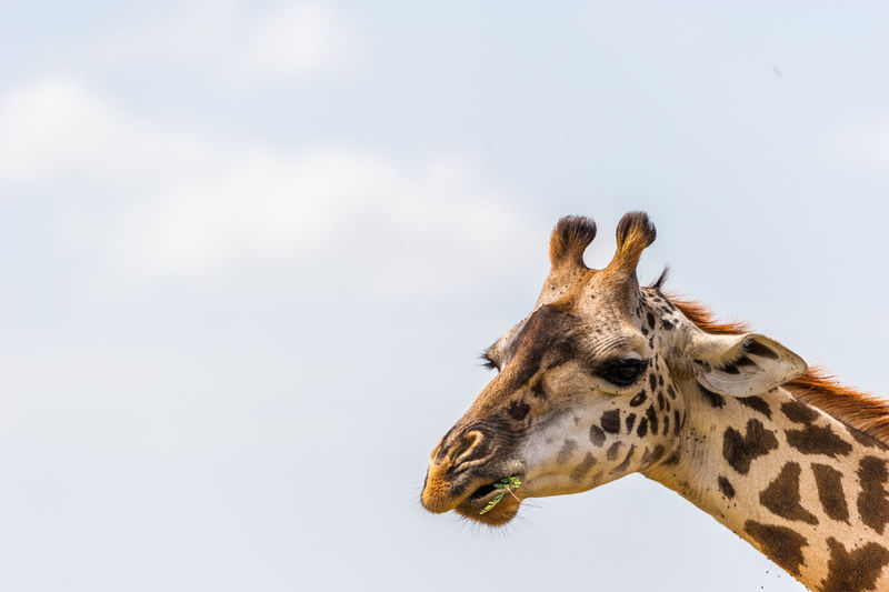 Low angle view of giraffe against sky