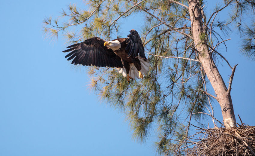 Low Angle View Of Bald Eagle Flying By Tree Against Clear Blue Sky
