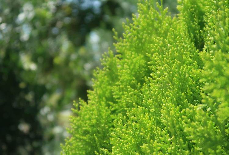 Thuja Coniferous Evergreen Tree Nature Thuja Tree Bokeh Close-up Conifer  Coniferous Tree Evergreen Flora Focus On Foreground Freshness Garden Green Color Growth Nature Nature_collection No People Outdoors Pattern Plant Plant Part Selective Focus Tree