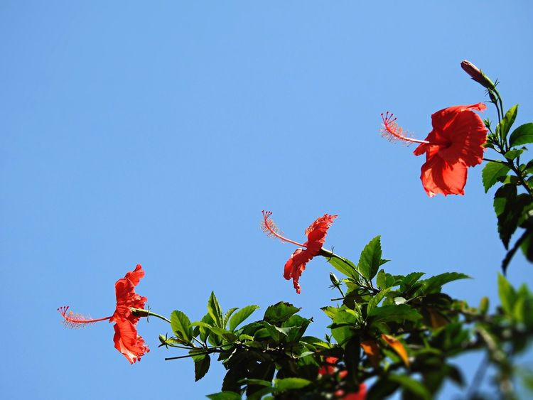Flowers Tadaa Community EyeEm Nature Lover Blue Sky Hibiscus