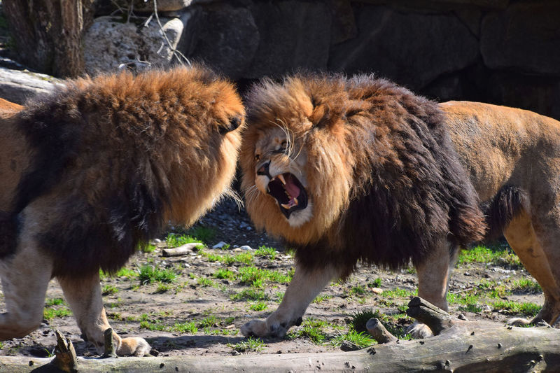 Two African lion males roar and fight in family quarrel African African Lion Animal Themes Animal Wildlife Animals In The Wild Day Lion Lions Male Mammal Mouth Open Nature No People Outdoors Predator Quarrel Roaring Teeth Two Two Animals Wildlife Wildlife & Nature Wildlife Photography Wildlife Photos Zoo