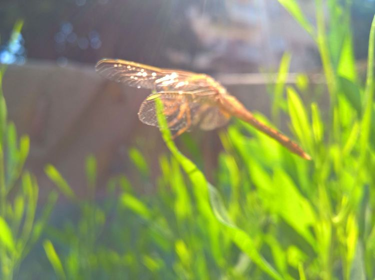 taken with Microsoft Lumia 640XL Dragonfly Nature Insects Insect Macro  Wildlife & Nature Wildlife Photography Animal Themes Animal Wildlife Animals In The Wild Beauty In Nature Close-up Dargonfly Day Golden Dragonfly Green Color Insect Insect Photography Nature One Animal Plant Wild Wildlife