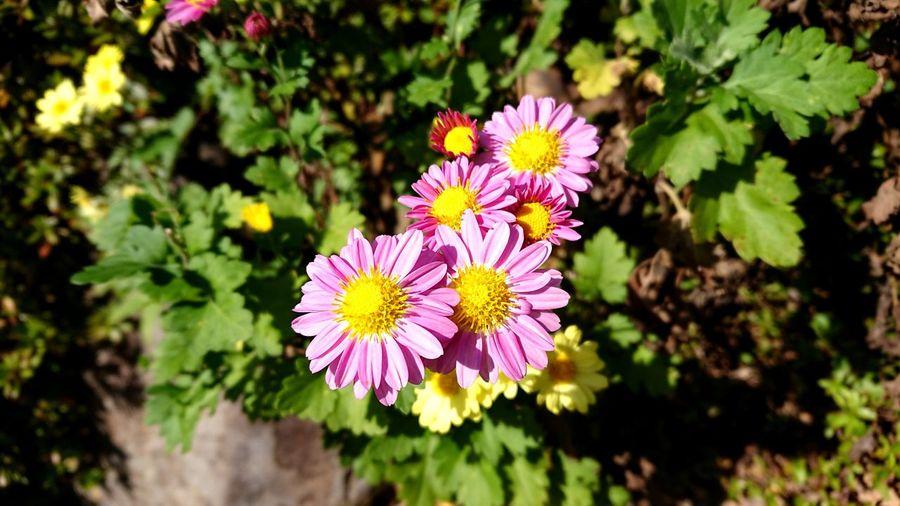 菊の花 Plant 花 菊