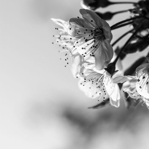 1:1 Beauty In Nature Beauty In Nature Black Blackandwhite Blackandwhite Photography Blossom Close-up Day Fragility Freshness Growth Growth Macro Narrow Depth Of Field Nature Nature No People Outdoors Petal Plant Springtime White