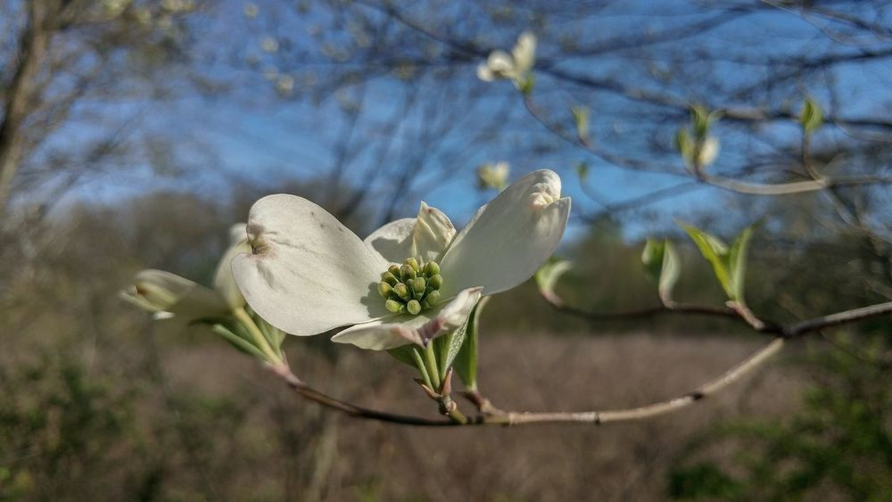 Dogwood Dogwood Blossom Flowers Flowerporn Flower Spring Spring Flowers Bloom Blooming