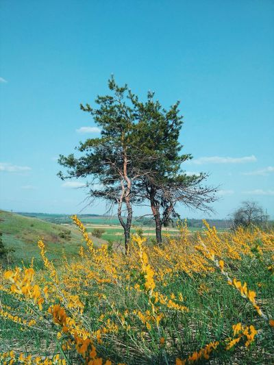 Landscape Nature Flower Growth Tranquility Beauty In Nature Plant Tranquil Scene Tree Yellow Field Day Scenics Outdoors No People Sky Ukraine Kharkiv first eyeem photo